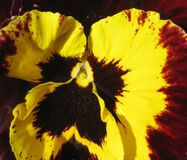 Macro photo abstract background bright beautiful flower petals Viola tricolor Stock Image