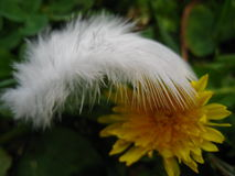 Macro photo abstraction with white feather and flower field. Macro photo abstraction with white feather birds, wild yellow young dandelion flower on a dark green Royalty Free Stock Photos