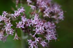 Macro photo of Adenostyles alpine flowers Stock Photo