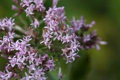 Macro photo of Adenostyles alpine flowers Stock Photos