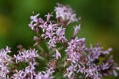 Macro photo of Adenostyles alpine flowers Royalty Free Stock Photo