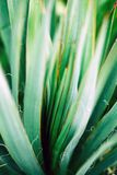 Macro photo of agave leaves colored in Coral and blue colors. Duotone concept.  royalty free stock photo