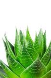 Macro photo of Aloe Royalty Free Stock Images