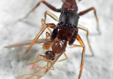 Macro Photo of Ant Mimic Jumping Spider Biting onTorso of Prey o. Macro Photography of Ant Mimic Jumping Spider Biting onTorso of Prey on White Floor stock photography