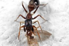 Macro Photo of Ant Mimic Jumping Spider Biting on Prey on White Floor. Macro Photography of Ant Mimic Jumping Spider Biting on Prey on White Floor royalty free stock photo
