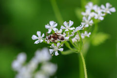 Macro photo of an ant on a white flower. Ant closeup. Macro photo of an ant on a white flower. Ant closeup crawling on the flower on the green background Royalty Free Stock Images
