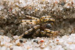 Macro photo of an Arctosa wolf spider on sand. This animal belongs to the Lycoae family, wolf spiders Royalty Free Stock Photography