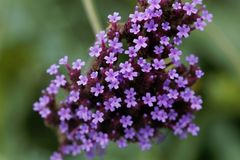 Argentinian vervain Verbena bonariensis Royalty Free Stock Photography