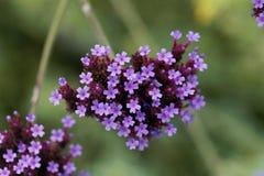 Argentinian vervain Verbena bonariensis. Macro photo of an Argentinian vervain Verbena bonariensis Stock Images
