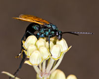 Macro Photo of an Arizona Wasp on Milkweed Royalty Free Stock Photo