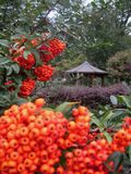 Macro photo with autumn background bright fruit bushes in a flower garden royalty free stock image