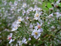 Macro photo with autumn flowering shrub plant varietal Asters `Alba Flore Plena` with white ligulate petals shape Royalty Free Stock Images