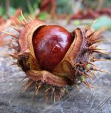 Macro photo with autumn texture round brown opened the fruit of the tree of horse Chestnut. On the vague uncertain nature background as the source for design royalty free stock image