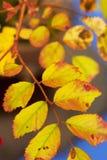 Macro photo of autumn yellow leaf background Royalty Free Stock Photography