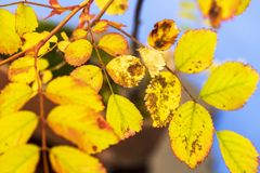 Macro photo of autumn yellow leaf background Stock Photography