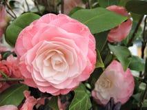 Macro photo avec le fond décoratif de belles fleurs avec des pétales de nuance rose sensible des usines de camélia Photographie stock