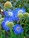 Macro photo avec un fond de fleur de jardin d'agrément avec des pétales aux nuances de couleur bleue Images stock