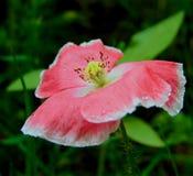 Macro photo avec une texture décorative de fond de belle fleur de pavot de fleur Photographie stock libre de droits