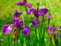Macro photo avec une texture décorative de fond de couleurs lumineuses des iris Image stock