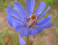 Macro photo background with bees collecting nectar from flower delicate blue wild field Chicory ordinary Stock Images