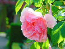 Macro photo with the background of decorative garden flowers roses Royalty Free Stock Images