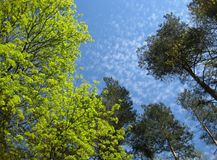 Macro photo background with gentle green trees on a blue sky Royalty Free Stock Photography