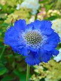 Macro photo with a background of ornamental garden flower with petals in shades of blue color Stock Image