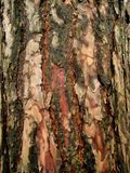 Macro photo with the background texture of the bark of the pine tree Stock Photos