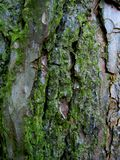 Macro, photo background texture of old wood pine, overgrown with green moss Stock Photos