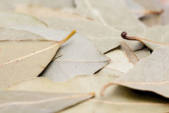 Macro Photo of Bay Leaves. Closs cropped macro photo of dry bay leaves royalty free stock images