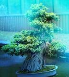 Macro photo of beautiful bonsai Stock Images