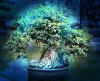 Macro photo of beautiful bonsai Stock Photography