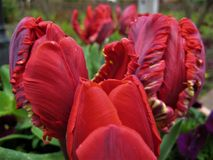 Macro photo with beautiful decorative background with bright curly red petals of flowers of tulips. In garden landscape design as a source for advertising Stock Image