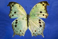 Macro photo of a beautiful illuminated Mother of Pearl butterfly. This is a macro photo of a Mother of Pearl, African Salamis Parhassus butterfly on a bright Royalty Free Stock Image