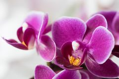 A macro photo of a beautiful vibrant purple orchid. A beautiful violet, magenta orchid macro photo. The vibrant petals crist sharp with a soft background Stock Photo