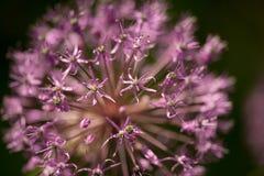 Macro photo of beautiful violet alium flowers royalty free stock images