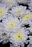 Macro photo. Beautiful white as snow flowers. Bouquet, white asters are simply beautiful Royalty Free Stock Photos