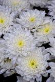 Macro photo. Beautiful white as snow flowers. Royalty Free Stock Photos
