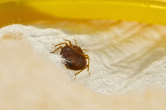 Bed Bug stock photos