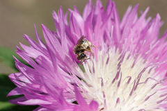 Macro photo of a bee close up. A bee collects nectar from flower. Asters. Bee on a flower. Macro photo of an insect in summer Sunny day stock photography