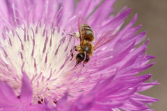 Macro photo of a bee close up. A bee collects nectar from flower. Asters. Bee on a flower. Macro photo of an insect in summer Sunny day stock photo
