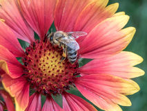 Macro photo of a bee close up. A bee collects nectar from flower Royalty Free Stock Images