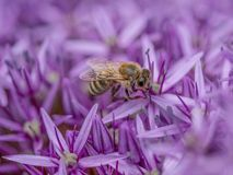 Close-up detail of a honey bee apis collecting pollen on  flower. Macro photo of  Bee  collecting  pollen in nature. Shallow depth of field Royalty Free Stock Photography