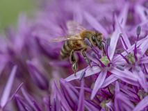 Close-up detail of a honey bee apis collecting pollen on  flower. Macro photo of  Bee  collecting  pollen in nature. Shallow depth of field Royalty Free Stock Photo