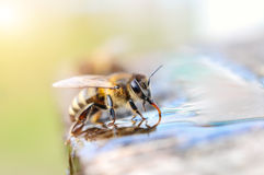 Macro photo bee drinking water. Animals and water. Stock Image