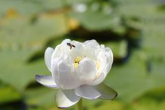 Macro photo of bee with lotus flower it may be design to your design graphic. Lotus flower with bees it may be designs to your design graphic stock photography