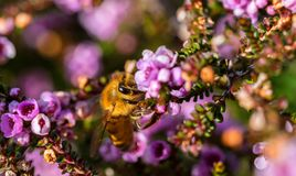 Macro photo or closeup of the bee on the flower collecting pollen Stock Images