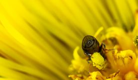 Macro Photo of Bee on Yellow Daisy royalty free stock image