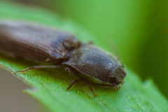 Macro photo of a beetle. On a leaf of dandelion Royalty Free Stock Image