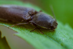 Macro photo of a beetle. On a leaf of dandelion Stock Images